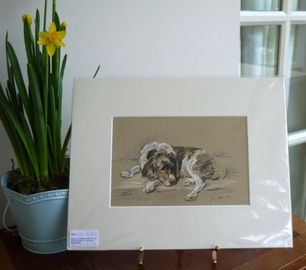 Coloured Springer Spaniel  1940's print by Lucy Dawson